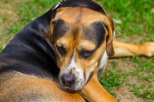 Cachorro sem raça - Vira-lata