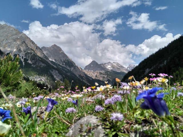 Bergblumen im Karwendeltal