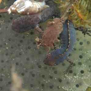 Bergmolch Weibchen und Männchen und eine Schnecke stört die Romanze