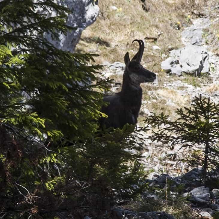 Gämse am Karwendel