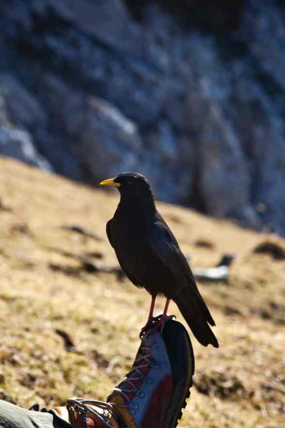 Freche Dole am Karwendel