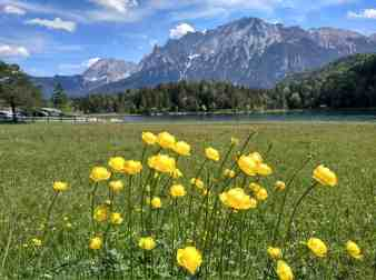 Trollblumen am Lautersee