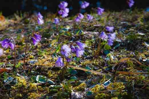 Soldanella alpina, Alpen-Troddelblume, Fransenglöckchen