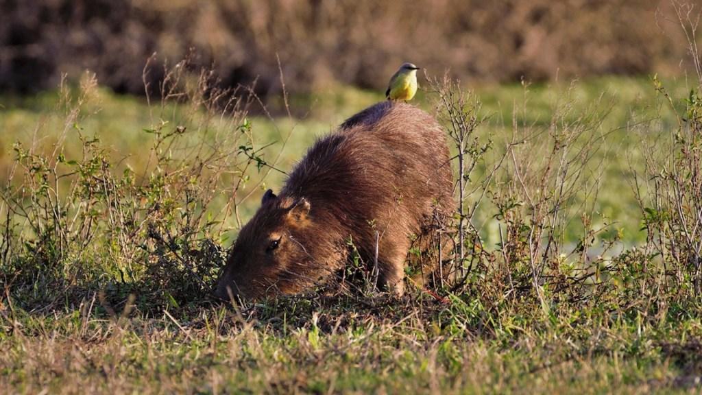 Argentina vive invasión de capibaras