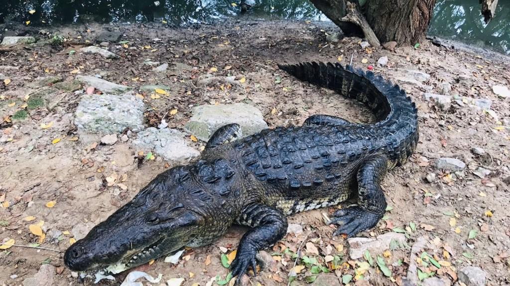 Los cocodrilos que conviven con humanos en Tampico