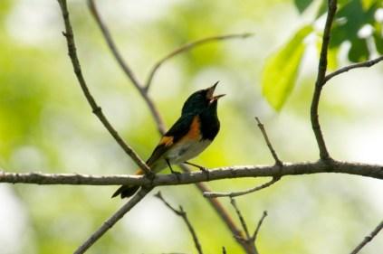 American Redstart singing his song