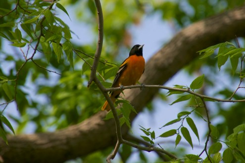 A male Baltimore Oriole - one of several I saw on the trail.