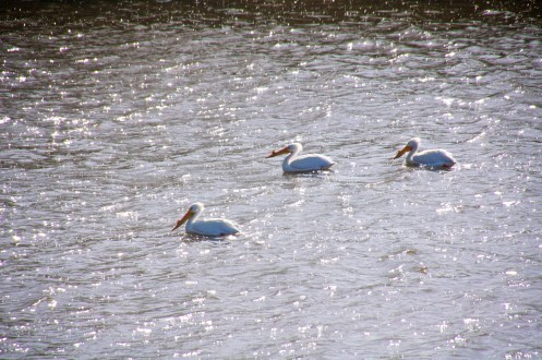 Short timer Pelicans, just passing through on their way to the sea