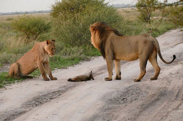 When A Lion Family Caught An Injured Fox: The Most Unexpected Just happened (16 Pi