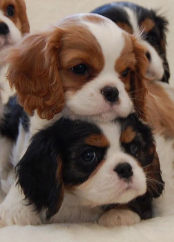 Baby Cavalier King Charles Spaniel puppies! (Breeder: Chadwick Cavalier King Charl