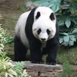 Amuzantele aventuri ale unor ursi panda