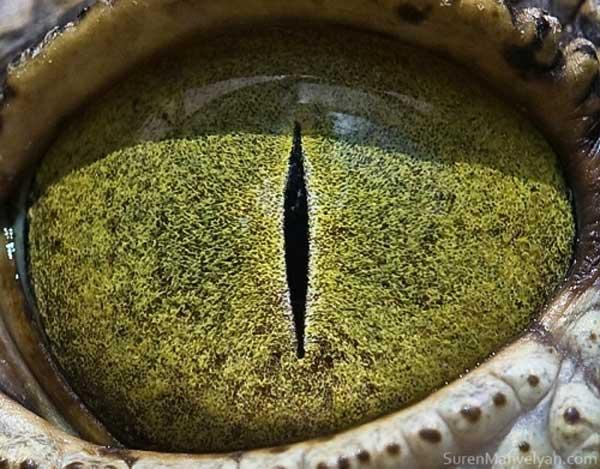 ochi-crocodil