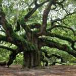 Stejarul