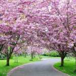 Copaci înfloriți