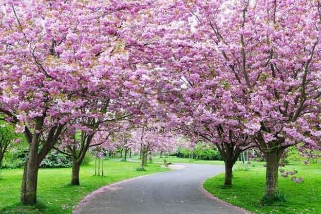 copaci-infloriti