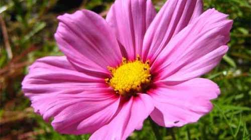 Floarea roz