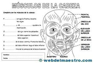 Sistema locomotor músculos de la cabeza