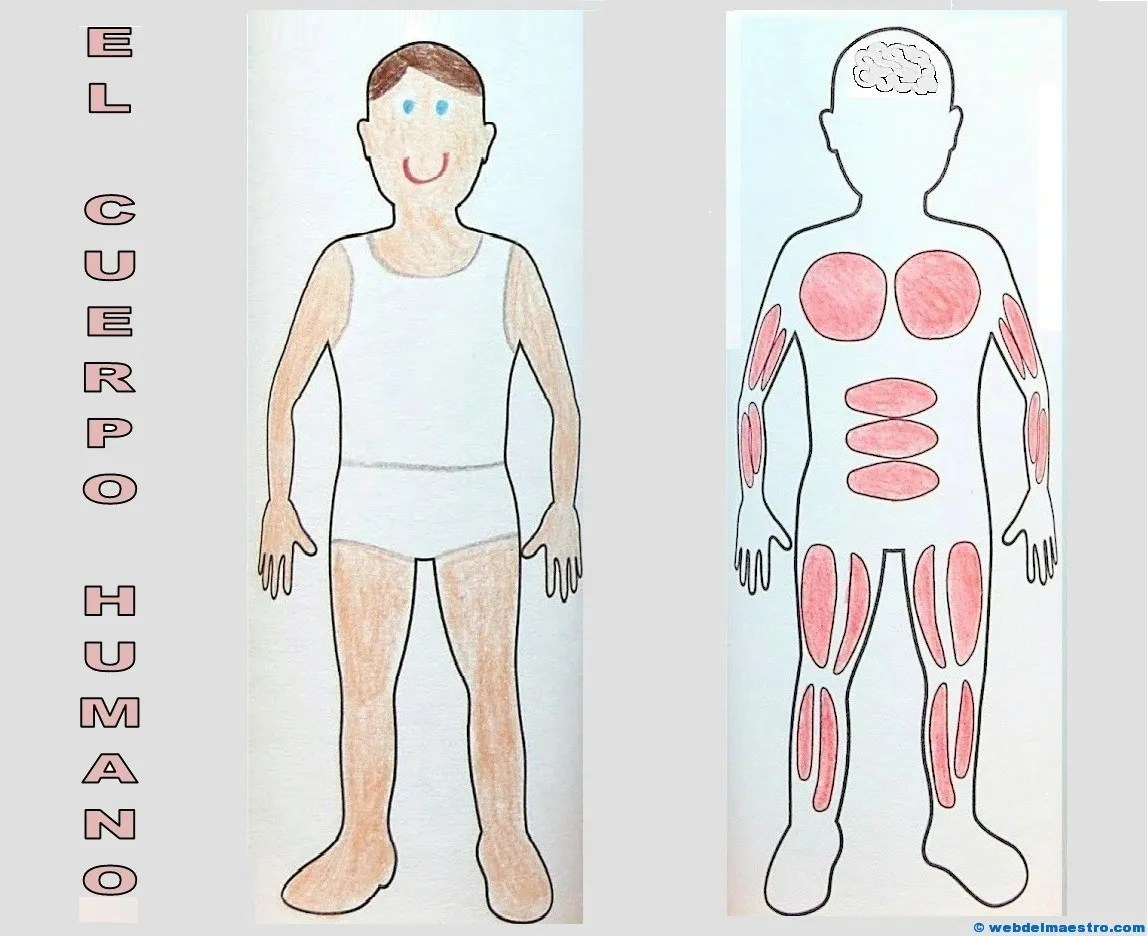 El cuerpo humano para niños (por dentro) - Web del maestro