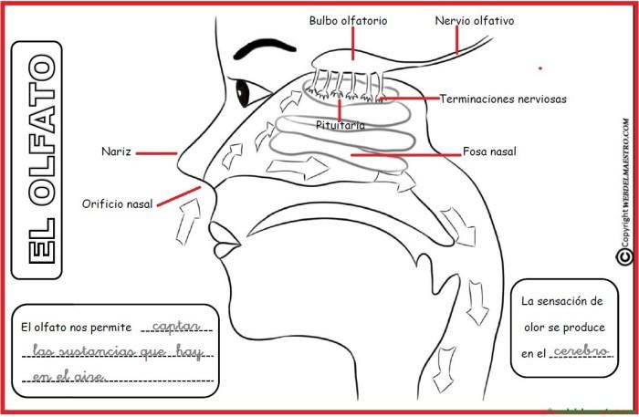 El sentido del olfato