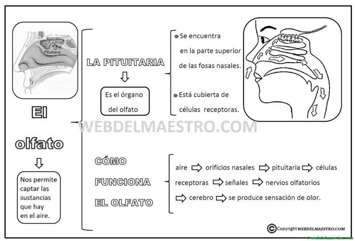Resumen- mapa conceptual del olfato