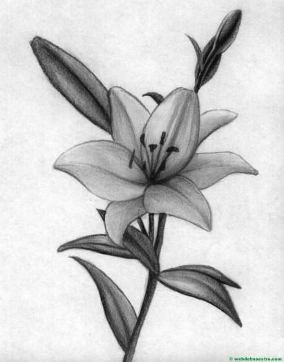 dibujo a lápiz de azucena-II