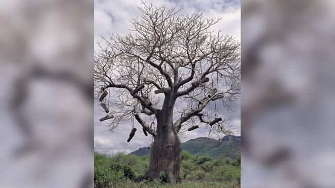 Ruches dans un baobab en Tanzanie. © Getty - Nigel Pavitt