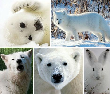 Arctic Animals 37 Photos of SnowWhite Wildlife WebEcoist