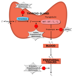 this diagram depicts the formation of thyroid hormone as well as the mechanism of action [ 990 x 1067 Pixel ]