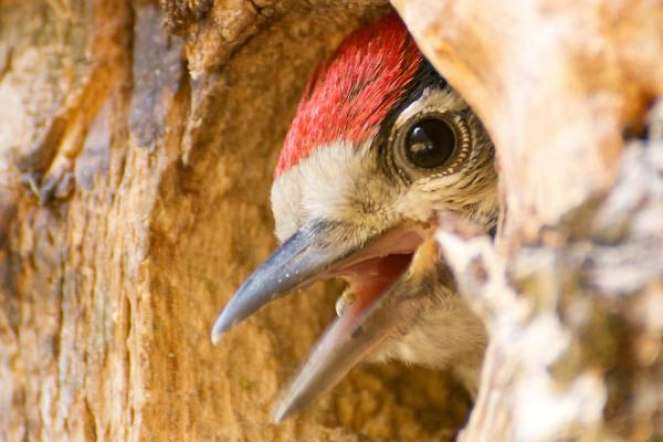 Junger Buntspecht in seiner Höhle