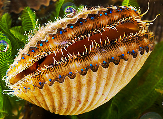 Image result for scallop eyes