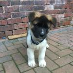 American Akita Puppy Ono In Sheffield For 500 00 For Sale Shpock