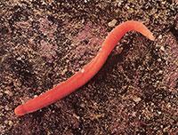 cerebratulus wormen
