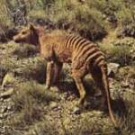 buidelwolf-zoogdier