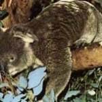 koala-zoogdier