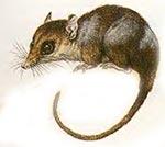 COLOCOLO Dromiciops australis