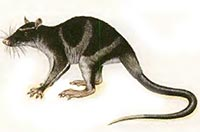 WATEROPOSSUM Chironectes minimus
