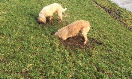 Schade aan dijken door honden blijft toenemen