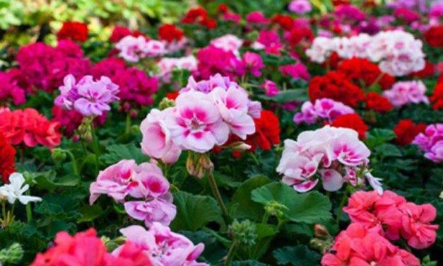 Geen vorst meer dus die geraniums mogen de grond weer in! Nu €0,99 per stuk!