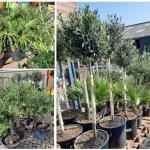 Welkoop Staphorst: 20% korting op alle mediterrane bomen!