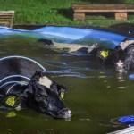 Ontsnapte koeien springen in zwembad achter woning in Punthorst