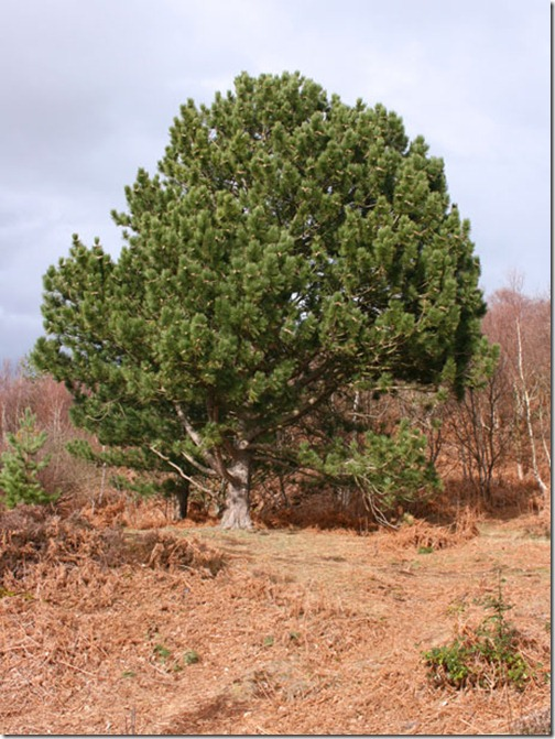 rounded-fir-tree-29941281448266nN4W