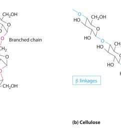 starches a and cellulose b differ in the connection between glucose units and the amount of branching in the molecule starches can be coiled or  [ 2045 x 1058 Pixel ]