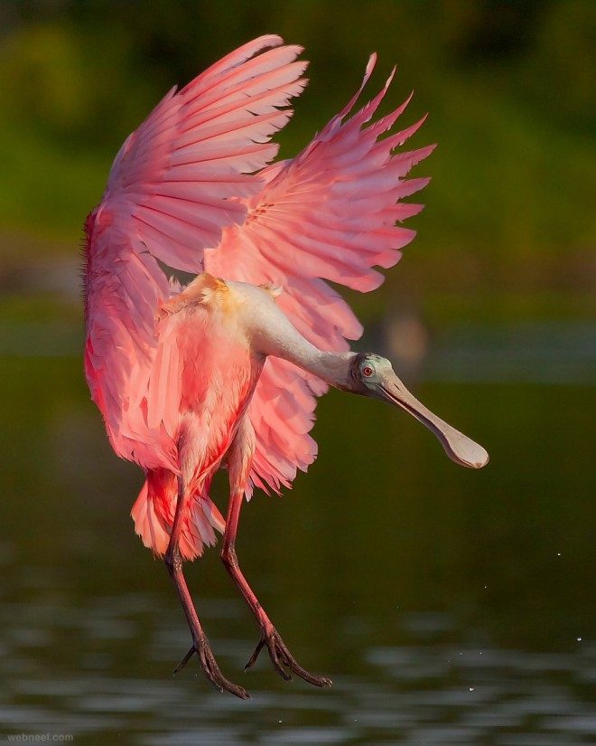 https://i0.wp.com/webneel.com/daily/sites/default/files/images/daily/08-2013/1-spoonbill-bird-photography-by-miguel-leyva.preview.jpg