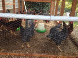 Chickens testing the new system