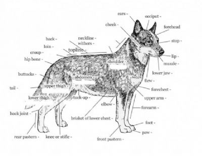 ethmoid bone diagram terry travel trailer wiring canine facial great installation of kangablue australian cattle dogs
