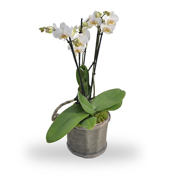 Orchidee wit met pot bestellen en bezorgen  Topbloemenbe