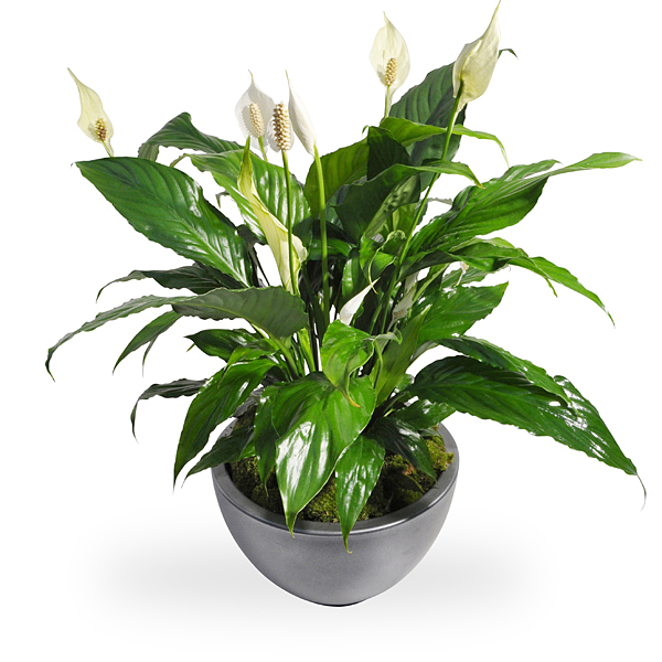 Spathiphyllum in pot bestellen en bezorgen  Topbloemennl