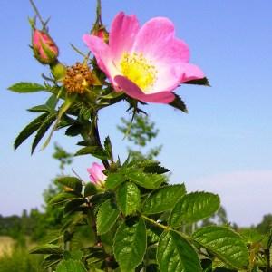 Natuurpunt Waasland Rosa rubiginosa