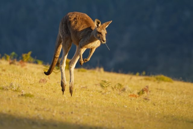 Picture of a kangaroo hoping