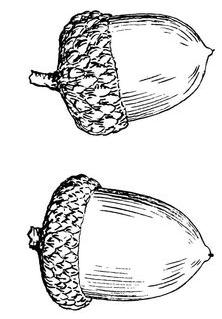 Acorn clipart drawn, Acorn drawn Transparent FREE for